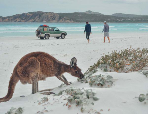 Kängurus am Strand in Esperance, Lucky Bay