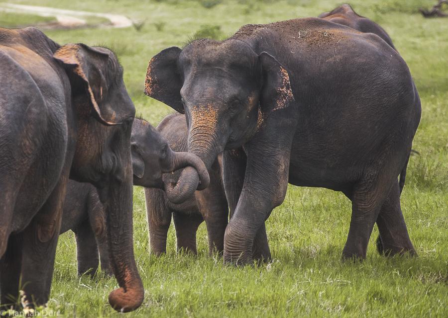 Elefanten beim Kuscheln bei einer Elefantensafari im Kaudulla Nationalpark in Sri Lanka