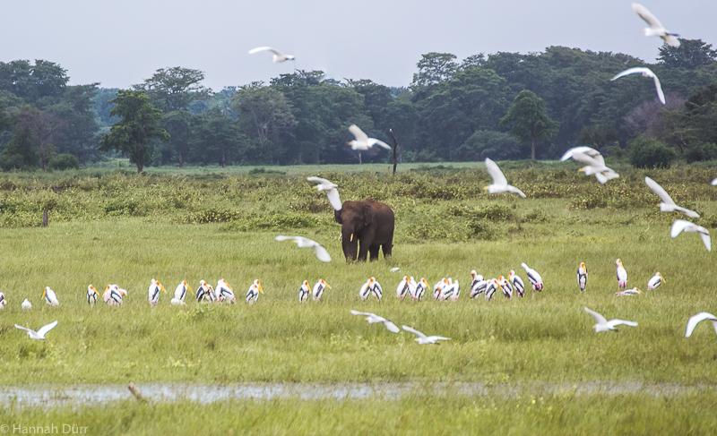 Elefanten und Wildlife ganz nah bei einer Elefantensafari im Kaudulla Nationalpark in Sri Lanka
