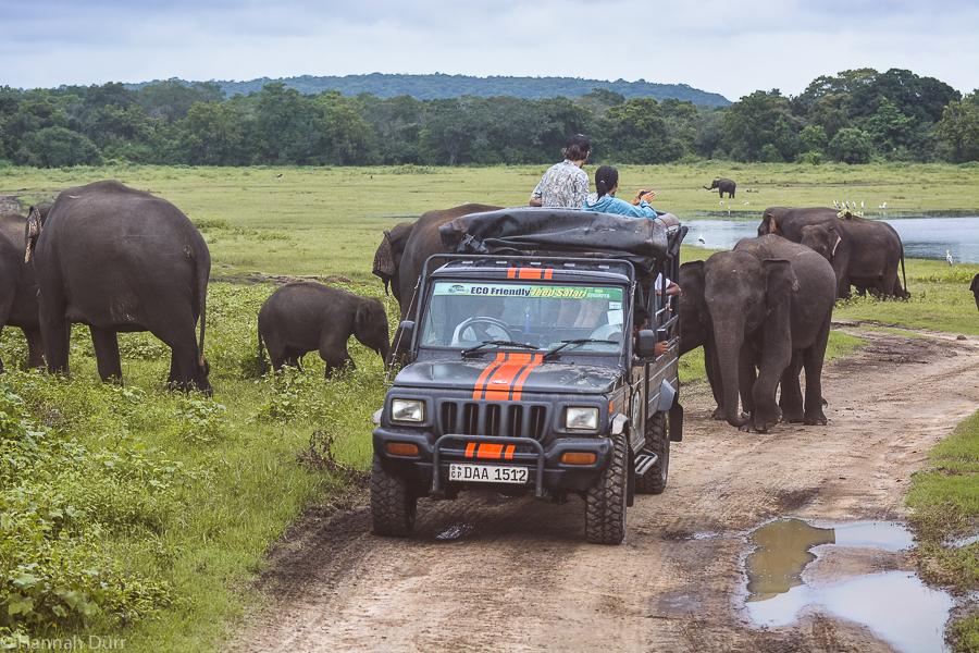 Elefanten ganz nah bei einer Elefantensafari im Jeep im Kaudulla Nationalpark in Sri Lanka