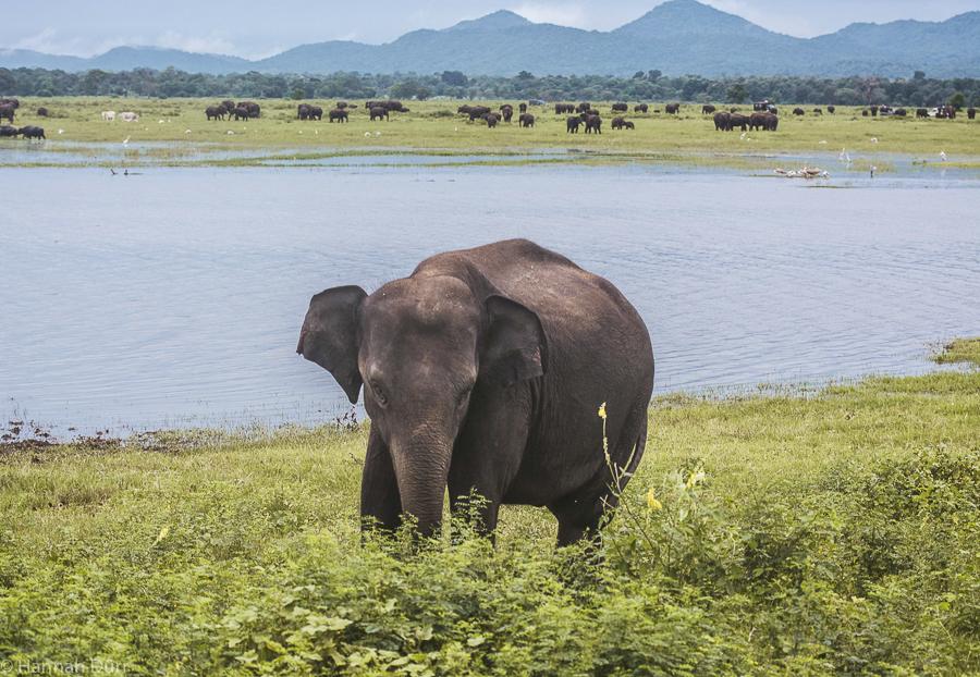 Elefanten ganz nach bei einer Elefantensafari im Kaudulla Nationalpark in Sri Lanka