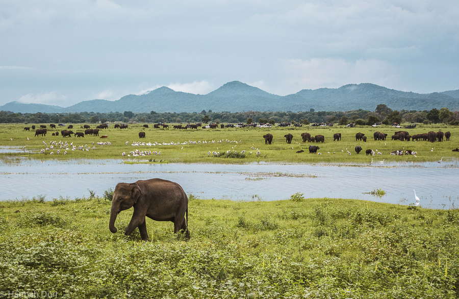 Elefanten ganz nah bei einer Elefantensafari im Kaudulla Nationalpark in Sri Lanka
