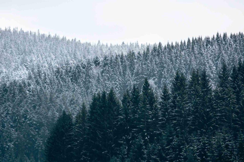 Bild: Planen hilft gegen Stress - oder einfach Natur! Tannen im Schnee.